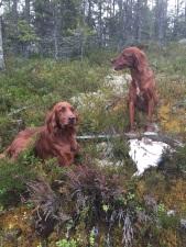 fågelhundkurs, ripjakt, skogsfågeljakt, jaga i Sälen