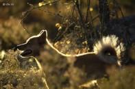 capercaillie hunt, Finnish Spitz dogs, tjäderjakt, Sälenfjällen, hunting