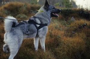 Pointing bird dogs, Scandinavian Mountains, Jonas hunting experience