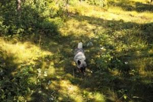älghund, älgjakt, Jonas Hunting Experience, Sälen, Sälenfjällen