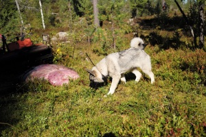 Jonas Hunting Experience, Jonas i Sälen, Sälen, Sälenfjällen. älgjakt, älghund, jaga älg, jaktmark