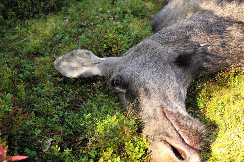 Jonas Hunting Experience, Jonas i Sälen, älgjakt, jaga älg, älg, Östfjällets fäbod, Sälenfjällen