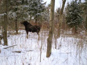 Ägjakt, jaga älg, Moose, Moose hunting, Sälenfjällen, Scandinavian Mountains, Jonas Hunting Experience